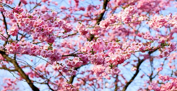 Viaja en tren a disfrutar de la floración de los cerezos del Jerte